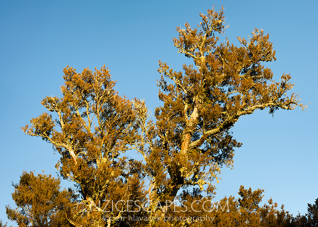 Warm morning light on Totara, native tree in Whataroa,  West Coast, South Westland, New Zealand, NZ