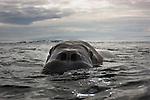 Norway, Svalbard, walrus swimming in ocean