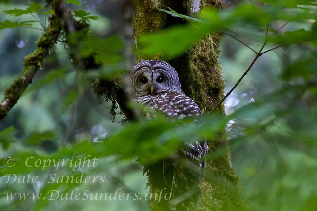 Barred owl (Strix varia) in a coastal temperate rain forest on southern Vancouver Island, British Columbia, Canada.