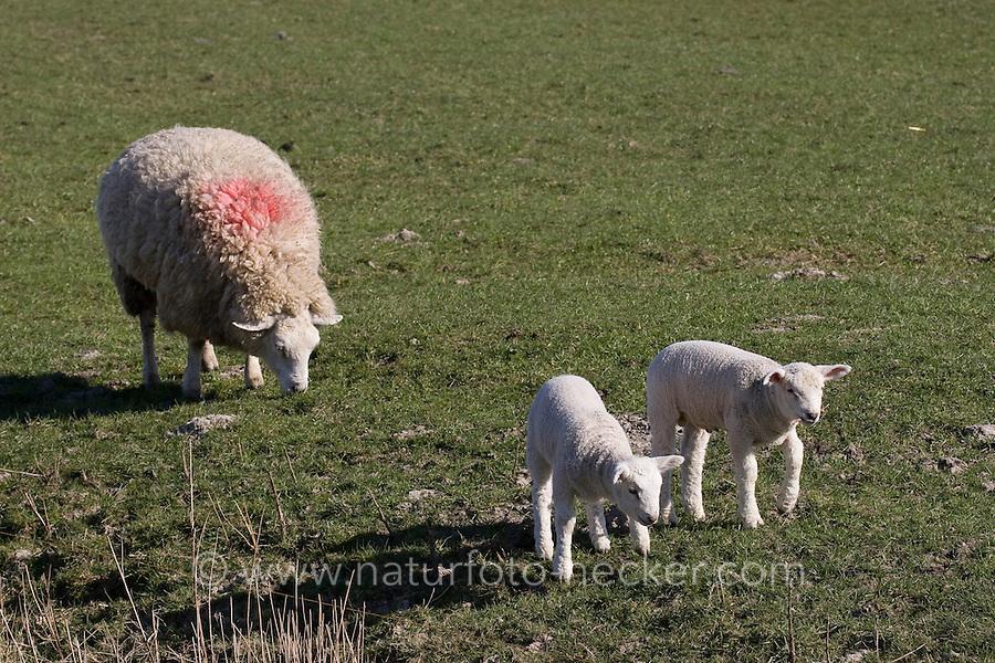 Hausschaf, Haus-Schaf, Schaf, Muttertier mit Lämmern, Lamm, Ovis ammon f. aries, sheep, sheeps