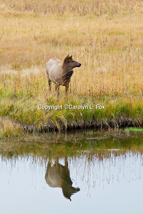 A young elk stands by a river in Yellowstone. Its reflectin can be seen in the River.