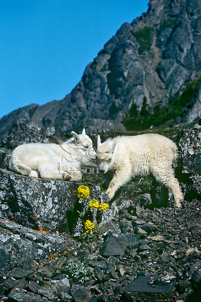 Two young Mountain Goat (Oreamnos americanus) kids play on edge of alpine cliffs.  Western U.S.
