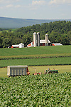 Mennonite Farmer mowing hay for silage, Union County, PA. Near Mazeppa.