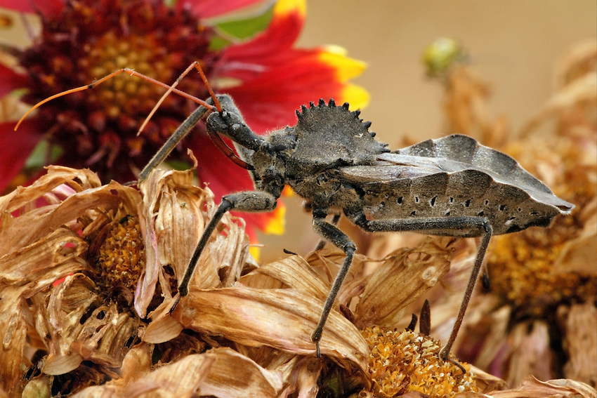 The wheel bug, Arilus cristatus (Linnaeus), is a moderately common, widely distributed, beneficial assassin bug that preys on man's pest insects.