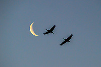 Every Spring  without fail, approximately 500,000 Sandhill Cranes leave their warm winter grounds in the south and head towards their breeding and nesting grounds in the Arctic. Along the way, they stop along the Platte River in western Nebraska to rest up for the remainder of their journey. Here, two Sandhill Cranes are silhouetted by a crescent moon in March.