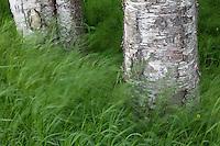 Birch trees, Anchorage, Alaska