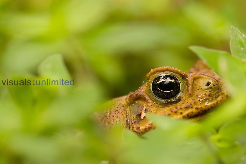 Cane Toad (Bufo marinus), Costa Rica.