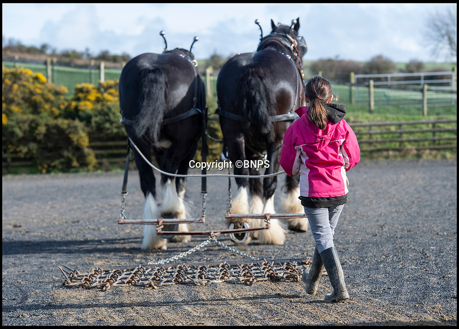 "BNPS.co.uk (01202 558833)<br /> Pic: PhilYeomans/BNPS<br /> <br /> Little & large - While most children her age are glued to computer screens or playing on mobile phones, horse-mad Maia Fletcher prefers a more ancient form of entertainment.<br /> <br /> The eight-year-old spends any time she can after school and on weekends helping her grandfather John Fletcher with his five giant Shire horses.<br /> <br /> The pint-sized groomsman is not intimidated by the daunting size of the 18 hands high, one tonne beasts and first rode one when she just three years old.<br /> <br /> Despite having her own ""normal"" sized pony at home, Maia is far more interested in the mammoth Shires.<br /> <br /> The horse-loving youngster, who is just 4ft 6in tall, has been helping her grandfather out ever since - although she has to stand on a step-ladder to help wash and groom them and needs a leg up if she wants to go for a ride."