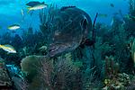 Nassau Grouper scenic, Cuba Underwater, Jardines de la Reina, Protected Marine park underwater, Endangered species Red list, www.iucnredlist.org/details/7862/0, Epininephelus striatus