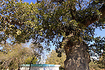 Israel, Lower Galilee, an Oak tree by the tomb of Nabi Hushan