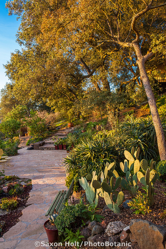 Engelmann Oak (Quercus engelmannii) with Opuntia ficus-indica, Prickly Pear or Indian fig cactus by patio in Debra Lee Baldwin garden