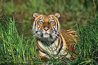 Bengal tiger (Panthera tigris) cooling off along edge of pond.