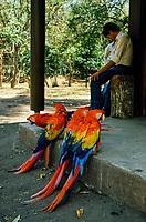 Guatemala, Chichicastenango. Pappagalli macao.<br /> Guatemala, Chichicastenango.  Macao parrots.