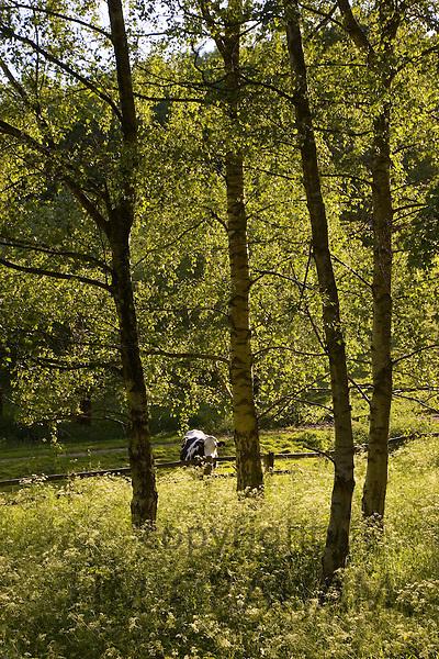 Cow in Oxfordshire field, Swinbrook, England, United Kingdom