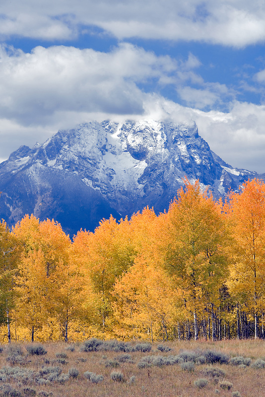 Mt. Moran and fall colored aspen trees. Grand Teton National Park, WY