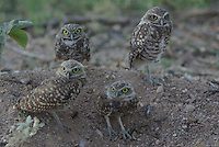 young Burrowing Owls stand above there hole in the the ground in southern Arizona.