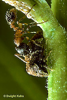 1T07-055z  Treehopper being milked by an ant - mutualism -  Publilia convava