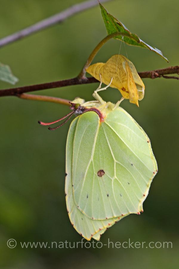 Zitronenfalter, Zitronen-Falter, Gonepteryx rhamni, Schlupf aus der Puppe, Metamorphose, brimstone, brimstone butterfly