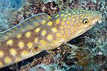Myrichthys breviceps, Sharptail eel, Bonaire