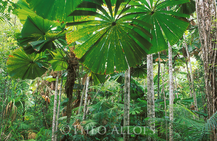 Australia, northern Queensland; Licuala fan palm rainforest near Mission beach