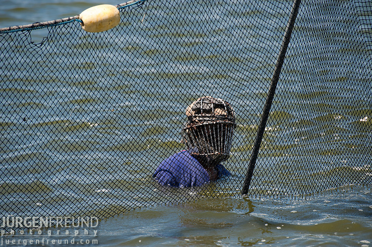 This courageous man with a groin and face guard made of stainless steel brings together the net to take out the fish from the pond. These men harvested about 4 tons of milkfish (Chanos chanos) from this pond and fish immediately put to ice and brought to  nearby processing plant for deboning and other processes. Alsons Aquaculture.