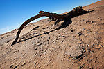 Dead Tamarisk tree branch in the Sahara desert with sand dunes.