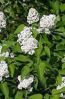 Garten-Flieder, Flieder, Weißer Flieder, Syringa vulgaris, Common Lilac, French Lilac