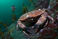 Edible crab, Cancer Pagurus.Atlantic marine life, Saltstraumen, Bodö, Norway