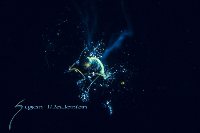 Black Water diving over Gulfstream Current; Florida Atlantic Diving; Plankton; SE Florida Atlantic Ocean off West  Palm Beach; larval fish; marine life; pelagic creatures; pelagic larval marine life; vertical migration marine creatures