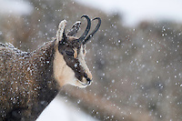 29.10.2008..Chamois (Rupicapra rupicapra) in snowy weather...Gran Paradiso National Park, Italy