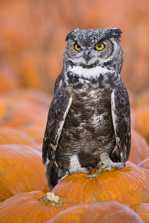 Great-horned Owl perched on a pumpkin in a pumpkin patch