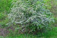 ORWVS_D104 - USA, Oregon, Sauvie Island Wildlife Area, Black hawthorn (Crataegus douglasii) blooms in riparian area at Oak Island.