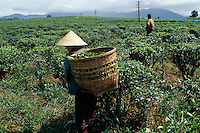 Teeplantage im zentralen Hochland, Vietnam