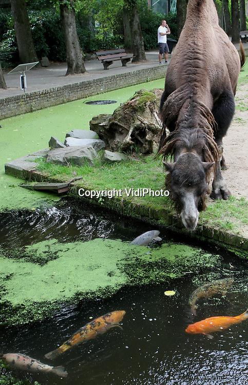 Foto: VidiPhoto..RHENEN - Vis a vis. Er zullen maar weinig kamelen op de wereld zijn die hun eigen aquarium bezitten. De mannetjeskameel van Ouwehands Dierenpark is een van die gelukkigen. Dagelijks neemt het lastdier even een rustpauze om naar de goudkarpers in de watergang te staren. En die vinden deze extra aandacht best plezierig. De vissen doen bovendien hun uiterste best om de aandacht van de kameel te trekken.