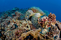 hawksbill turtle, Eretmochelys imbricata, Critically endangered (IUCN), dive site Tiki, Moorea Island, Society Archipelago, French Polynesia, Pacific Ocean