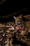 Mountain Lion (Puma concolor) six month old male cub feeding on Black-tailed Deer (Odocoileus hemionus) doe carcass at night, Santa Cruz Puma Project, Lexington Reservoir County Park, California