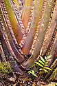 Base of Travellers Palm {Ravenala madagascariensis} growing in rainforest, Andasibe-Mantadia NP, Madagascar
