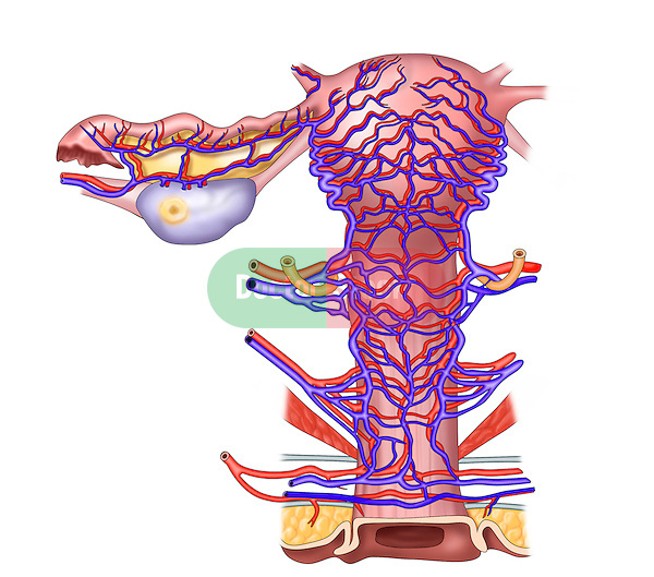 arteries and veins of uterus