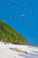 Laysan albatrosses, Phoebastria immutabilis, fill the sky above a sleeping juvenile Hawaiian monk seal, Neomonachus schauinslandi, Critically Endangered endemic species, Sand Island, Midway, Atoll, Midway Atoll National Wildlife Refuge, Papahanaumokuakea Marine National Monument, Northwest Hawaiian Islands ( Central North Pacific Ocean )