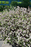 Daphne x burkwoodii 'Carol Mackie' in fragrant spring bloom