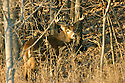 00274-303.14 White-tailed Deer Buck (DIGITAL) with large 10-pt. antlers is in heavy cover during fall.  H6R1