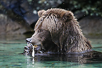 A photo of a coastal Katmai Grizzly eating salmon in a pool of water. Grizzly Bear or brown bear alaska Alaska Brown bears also known as Costal Grizzlies or grizzly bears
