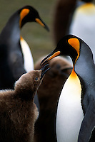 A parent king penguin feeds its chick at a rookery on the Falkland Islands.
