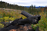 "Near the Florentine Valley, Mount Wedge and Lake Gordon, these burned trees are leftovers from a two year old clearcut under the reign of Forestry Tasmania, who permits companies to cut these forests for wood pulp, then burn the leftovers, drops 1080 poison to kill the wildlife. Plantation forest or ""native forest is then grown its place. Forest activists in Tasmania maintain that the government's forestry policy is destroying the environment and that 90% of Tasmania's old growth forest is already gone."