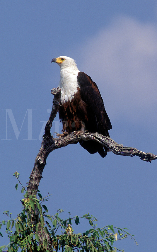 An AFRICAN FISH EAGLE (Haliaeetus Vocifer) perched in a tree - CHOBE NATIONAL PARK, BOTSWANA
