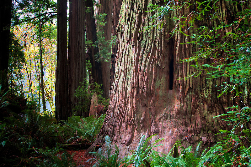 Redwoods and big leaf maple tree in fall color. Jedediah Smith Redwoods State Park, California