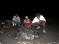 local researchers healp neesting leatherback sea turtle, Dermochelys coriacea, Dominica, West Indies, Caribbean, Atlantic