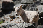 Bighorn Sheep lamb in rocks in Montana