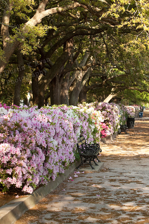 battery row and white point gardens charleston south carolina azaleas and live oaks