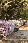 battery row and white point gardens charleston south carolina azaleas and live oaks